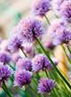 Chive Purple flower