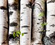 Reserves of birch logs
